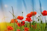 Piros pipacs virágok