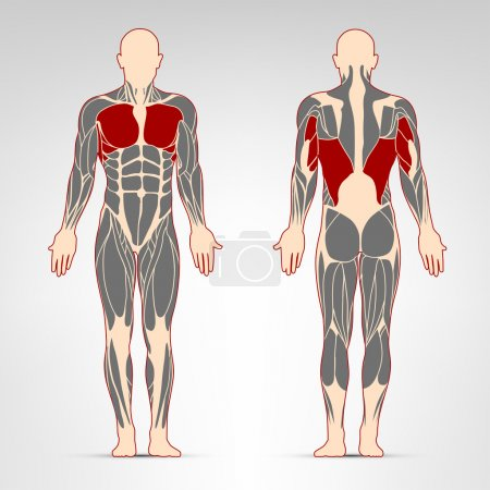 Pectoralis, triceps and oblique muscles