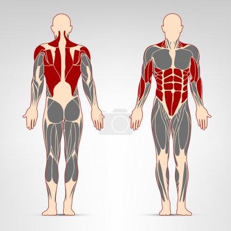Man muscles workout