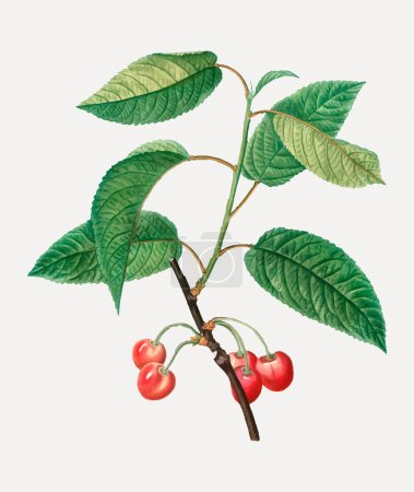 Photo for Vintage red cherry fruit vector - Royalty Free Image