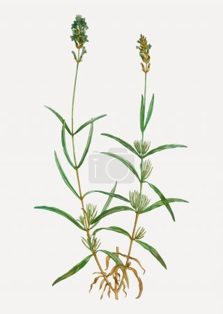 Photo for Vintage broadleaved lavender branch plant vector - Royalty Free Image