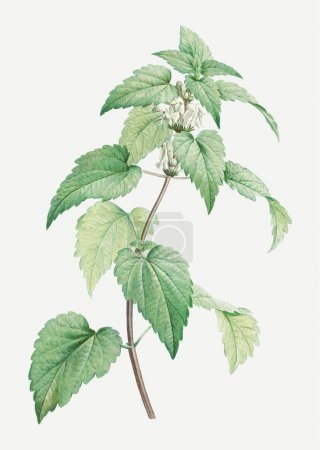 Photo for Vintage white dead-nettle vector - Royalty Free Image