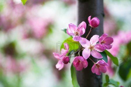 Blossom pink apple flowers