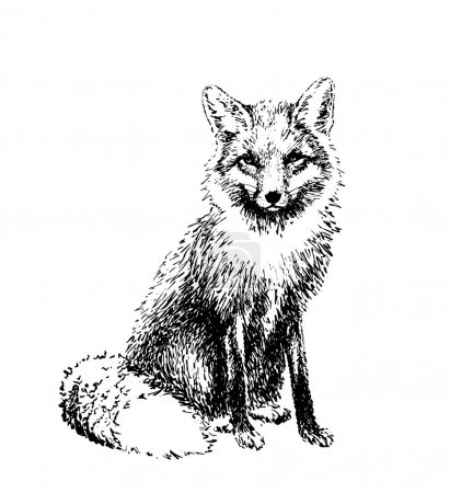 Illustration for Fox engraved illustration. Vector - Royalty Free Image