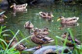 Wild brown ducks on lake