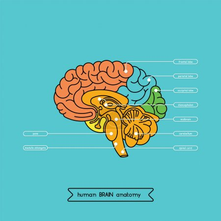 Schematic illustration of human cerebrum. Made in ...