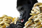 Big hungry gorilla eating a healthy snack of bananas for breakfast, isolated on white background