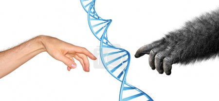 Photo for Human and gorilla hands reaching to touch, with DNA spiral in center. - Royalty Free Image