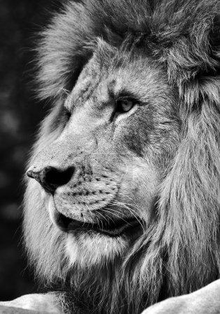 Photo pour Portrait en noir et blanc d'un puissant visage de lion mâle . - image libre de droit
