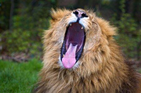 African Lion Roaring