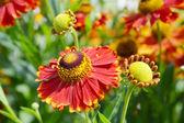 Gazánie oranžový květ