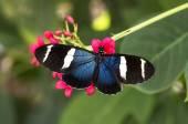 Blue Longwing