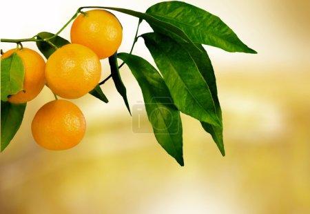 Orange tree with fruits