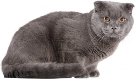 Photo pour Portrait de chat british shorthair sur fond blanc - image libre de droit