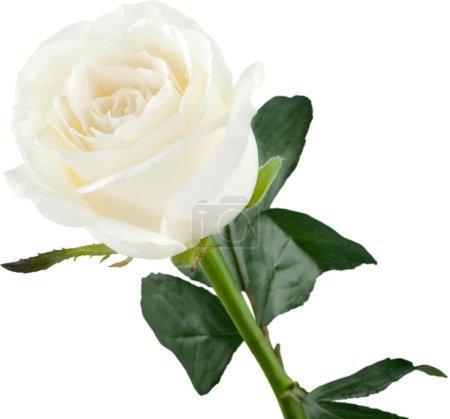 Single white Rose isolated