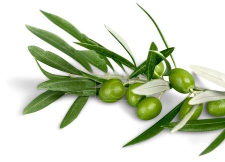 Olives on olive tree branch