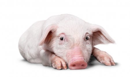 Photo for Pig lying in studio on white background - Royalty Free Image