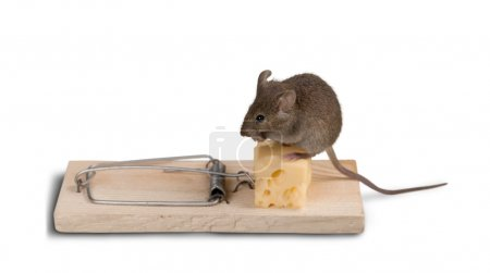 Trap with cheese and mouse