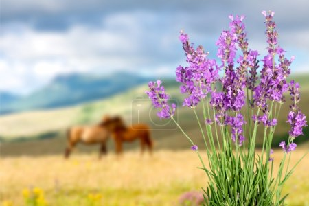 Lavender, Lavender Coloured, Flower.