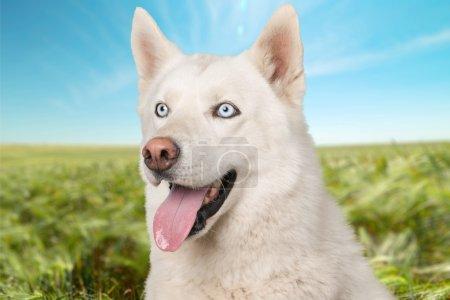 Dog, Cocker Spaniel, Cheerful.