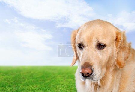 Golden, dog, white.