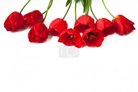 Photo for Red tulips on top of the frame on a white isolated background. Easter, March 8, valentines day, mothers day, copy space, close up - Royalty Free Image