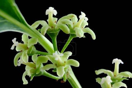 Photo for Staff Vine (Celastrus orbiculatus). Inflorescene Closeup - Royalty Free Image