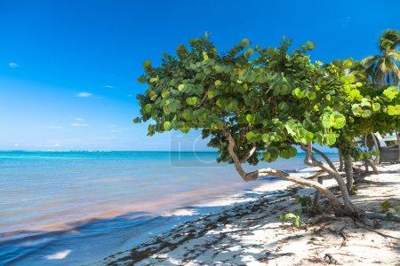 Photo pour Raisin marin sain sur la plage tropicale . - image libre de droit