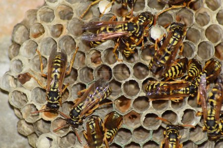 Wasps polist. The nest of a family of wasps which ...