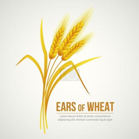 Ears of Wheat. Vector illustration