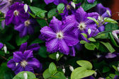 Beautiful, large purple clematis flower in the garden
