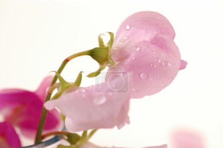 Sweet peas flower