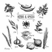 Vector hand drawn set with culinary herbs and spices