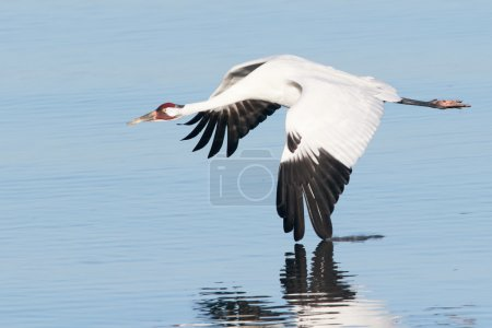Whooping Crane in Flight with Wing Touching the Water