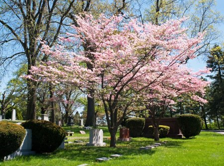 Pink flowering dogwood tree in early spring in a c...