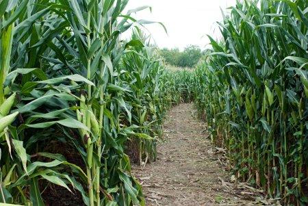 Camino del laberinto de maíz