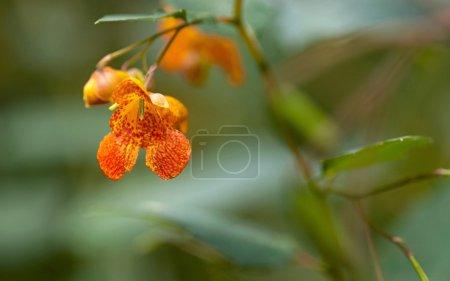 Orange Spotted Jewelweed