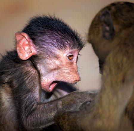 Photo pour Babouin bébé Chacma (Papio cynocephalus) excité et interagissant avec d'autres jeunes babouins - Parc national Kruger (Afrique du Sud) ) - image libre de droit