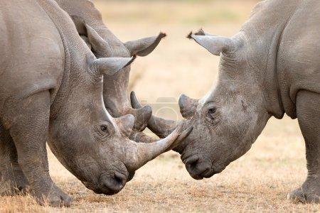 Three White Rhino's  locking horns
