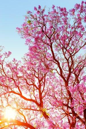Sunrise through jakaranda tree