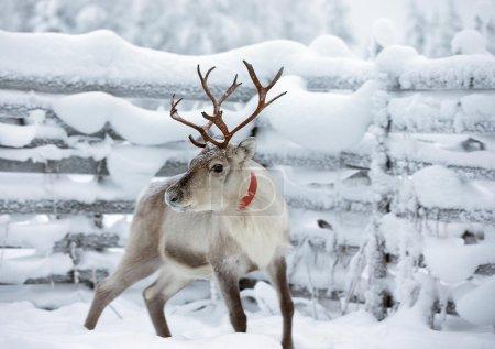 Reindeer near fence in winter