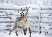 Sobí blízko plotu v zimě