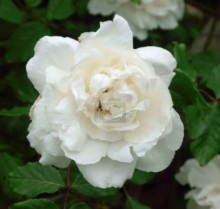 Photo pour Belle et étonnamment parfumée, c'est un favori parmi les jardiniers . - image libre de droit