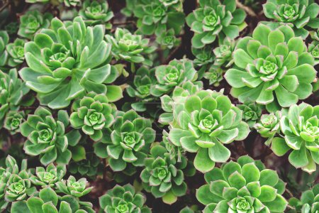 Many green succulents in garden