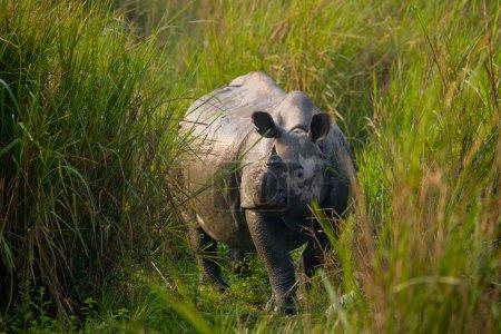 Gran Rinoceronte indio