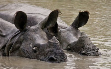 Photo for Big endangered Portrait of Indian rhinoceroses (Rhinoceros unicornis)  in water - Royalty Free Image