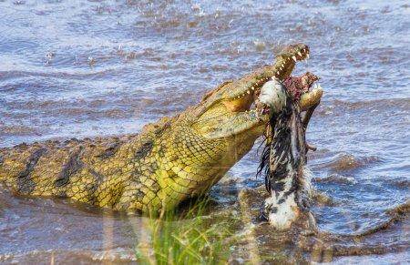 Crocodile eats a wildebeest