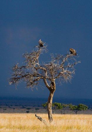 Predatory African birds