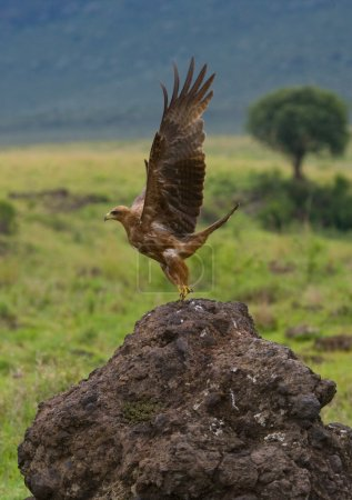 Predatory African bird flying