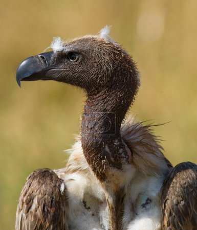 Portrait of african vulture